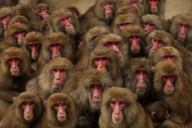 Click image for larger version.  Name:299417-macaque-monkeys-japan.jpg Views:8 Size:56.6 KB ID:50661